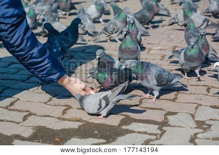 The Girl Feeds Pigeons.