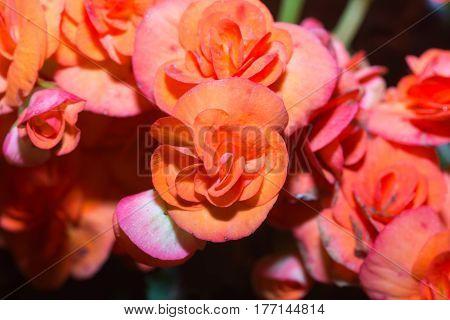 Begonias flower bloom among green leaves in nort of Thailand