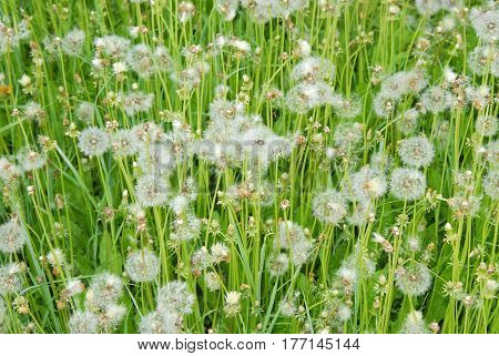 Glade of dandelions with fluff in hot summer