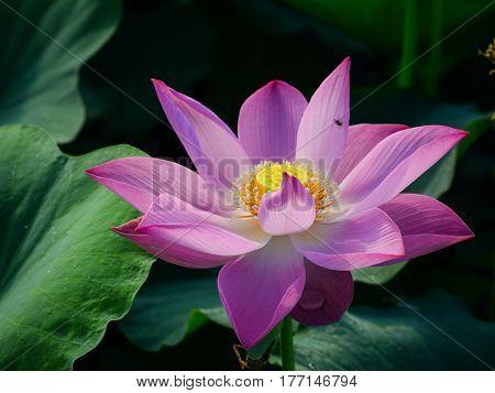 Lotus Flower Blooming At Summer Time