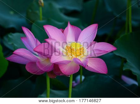 Lotus Flower Blooming At Summer Time
