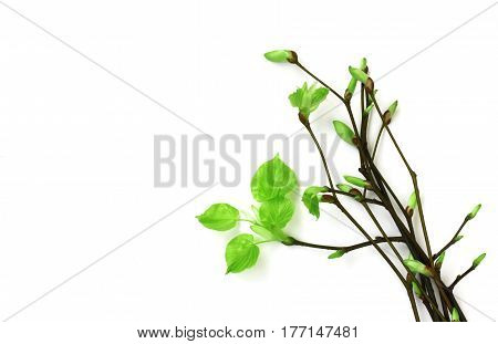 Bouquet of young spring branches with leaves on white background