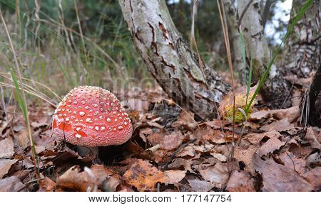 Mushroom hunting. Gathering Wild Mushrooms. Fly agaric mushroom photo Red Amanita muscaria forest photo forest mushroom forest mushroom photo.