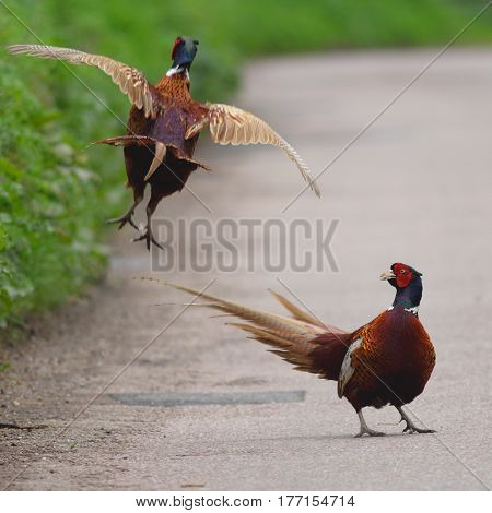 Two male ring-necked pheasant fight on the road in Devon