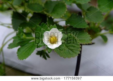 strawberry flower in strawberry garden, strawberry tree .