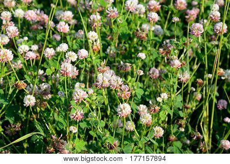 Red clover Latin Trifolium pratense. A plant of the genus Clover the legume family subfamily butterfly.
