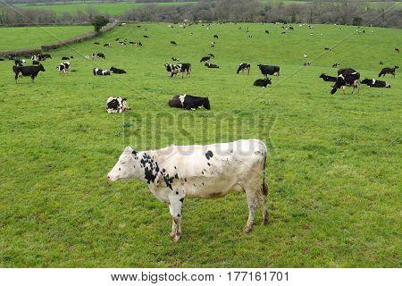 Herd of cows on a farmland in Devon
