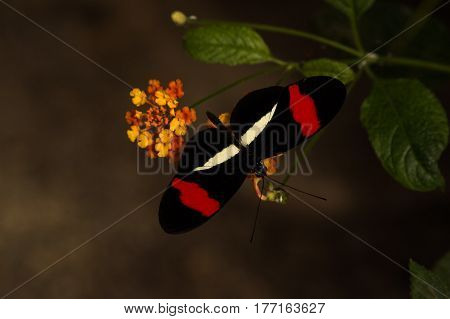 Butterfly in black and red ist sitting on a flowerhead