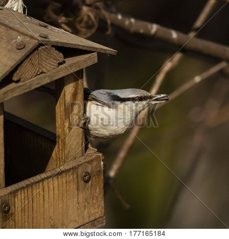 Eurasian or wood nuthatch Sitta europaea close-up portrait at bird feeder with seed in beak selective focus shallow DOF