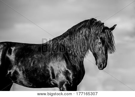 Stallion of the Frisian breed posing against the sky