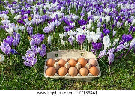 Egg box with chicken eggs in blooming crocuses during spring