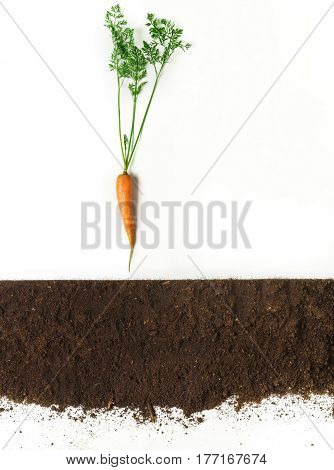 Carrot above ground, cross section, cutout collage. Healthy vegetable plant with leaves isolated on white background. Agricultural, botany and farming concept