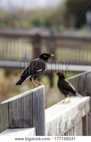 Indian Myna Birds