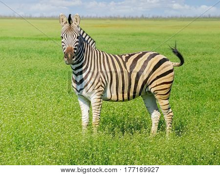 Grevy's zebra in the spring steppe covered by grass and flowers in the nature reserve Askania-Nova
