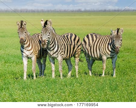 Three Grevy's zebras in the spring steppe covered by grass and flowers in the nature reserve Askania-Nova