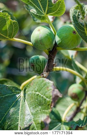 photo of Figs on the fig tree