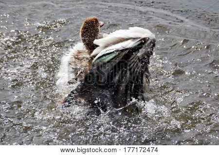 Long Legged Duck In The Water