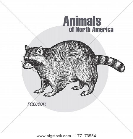 Raccoon. Hand drawing of wildlife. Animals of North America series. Vintage engraving style. Vector illustration art. Black and white. Isolated object of nature naturalistic sketch.