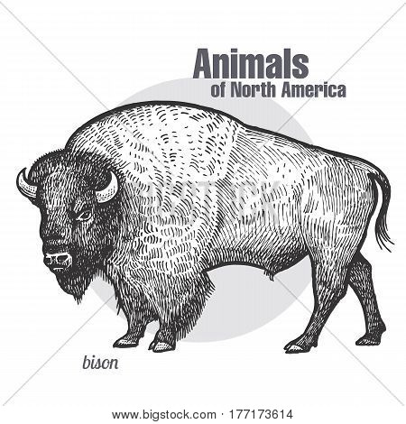 Bison. Hand drawing of wildlife. Animals of North America series. Vintage engraving style. Vector illustration art. Black and white. Isolated object of nature naturalistic sketch.