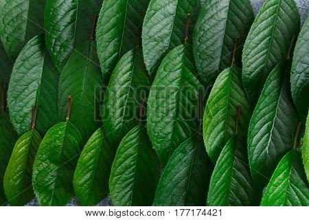 Green fresh leaves of cherry tree pattern background. Closeup texture of leaf rows, abstract floral ornament of natural foliage top view