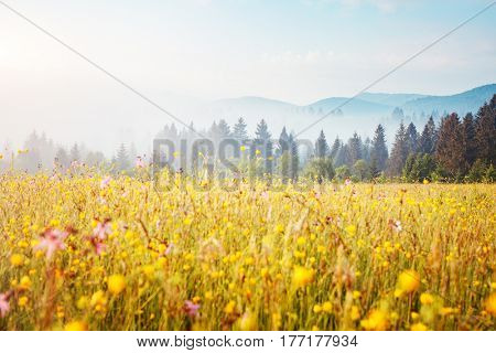 Blooming grazing land in the morning light. Wonderful day and gorgeous scene. Location place Carpathian, Ukraine, Europe. Perfect vacation outdoors. Climate change. Explore the world's beauty.