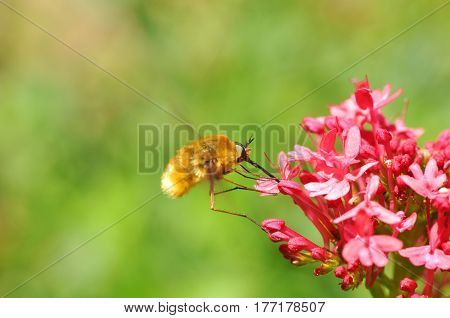 Bee-fly, Bombylius, harvesting nectar from a flower. Bombylius pollinating pink flower in garden