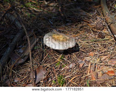 white brittlegill mushroom growing in pine forest