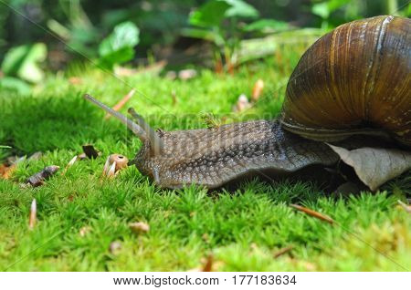 Snail in the moss in the deep forest. Big snail in nature