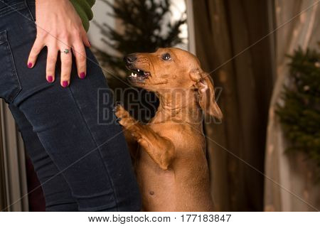 Dachshund dog stands on it's legs and barks to owner in jeans