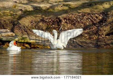 Pet A White Goose On A Pond Spread Its Wings