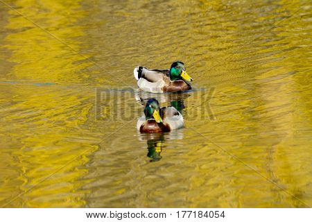 Image of an animal a wild drake swims on a pond