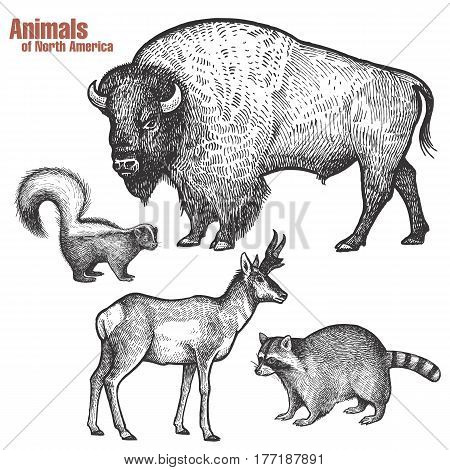 Animals of North America hand drawing set. Bison Skunk Pronghorn antelope Raccoon. Vintage engraving style. Vector illustration art. Black and white. Isolated object of nature naturalistic sketch.