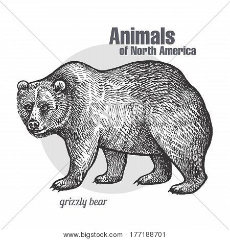 Grizzly bear. Hand drawing of wildlife. Animals of North America series. Vintage engraving style. Vector illustration art. Black and white. Isolated object of nature naturalistic sketch.