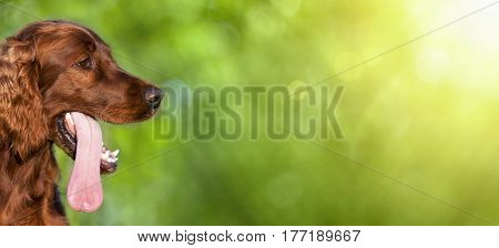 Website banner of a funny Irish Setter dog puppy