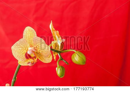Yellow And Red Orchid Macro With Water Drops. Phalaenopsis Branch On Red Background. Close Up. Sprin