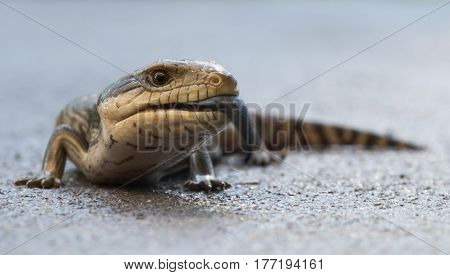 Blue tongue lizard basking on concrete with its tongue out
