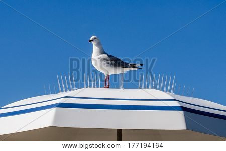 Cheeky seagull sitting on a spiked umbrella on a sunny day at the beach