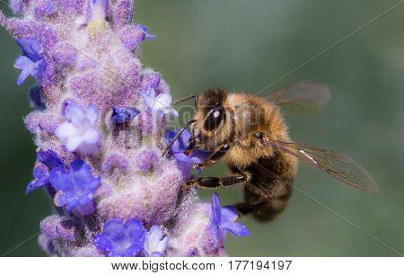 Close up of a Honey bee sitting happily on a lavender flower