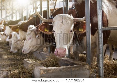 Cows Feeding In Stable