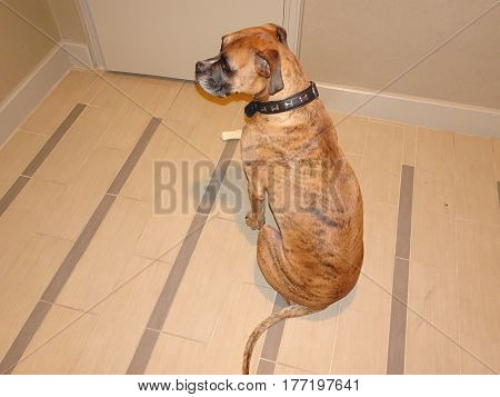 Brindle  Boxer Begs For Treat