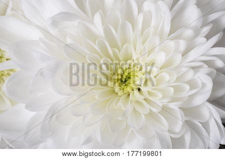 White Flower Background