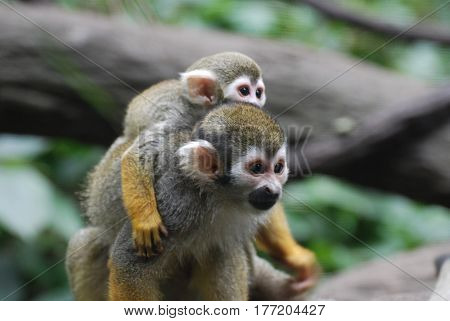 Amazing family of squirrel monkeys with a baby on it's mom's back.