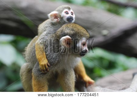 Beautiful mother and baby squirrel monkey in the wild.