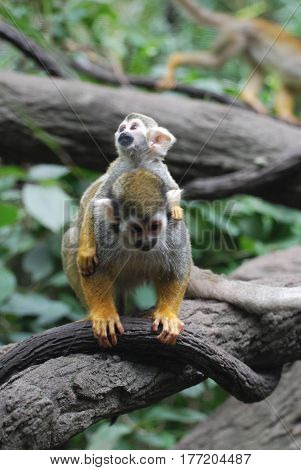 Beautiful squirrel monkey family with a mother and child.