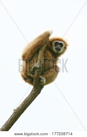 A low angle view of a gibbon sitting on a top of tree branch.