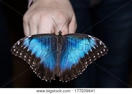 The tropics butterfly Morpho peleides on hand fingers