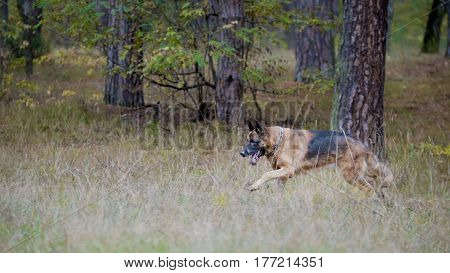 Pets concept - german shepherd dog running in the autumn forest, telephoto