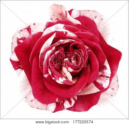 White-red rose flower on white isolated background with clipping path. no shadows. Closeup. Nature.