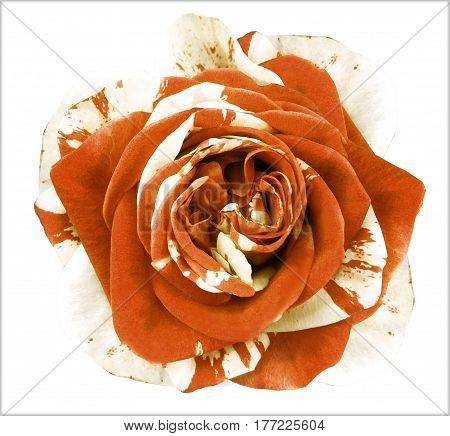 White-orange rose flower on white isolated background with clipping path. no shadows. Closeup. Nature.