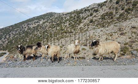 Carneros en el Monte Ida, Isla de Creta